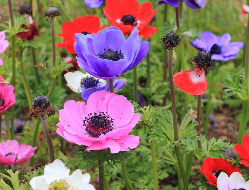 Anemone coronaria caen fleuriste