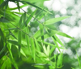 Bambou Pleioblastus en pot
