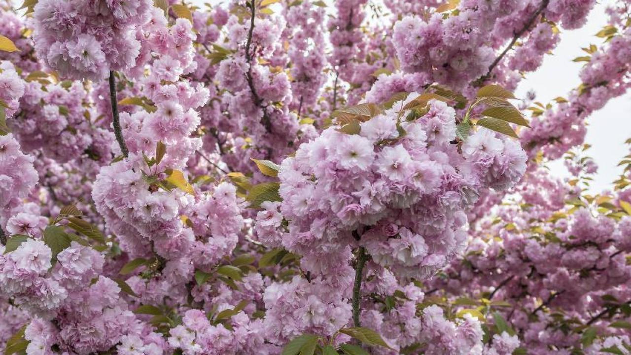 Hauteur Cerisier Du Japon cerisier du japon : plantation, taille et conseils d'entretien