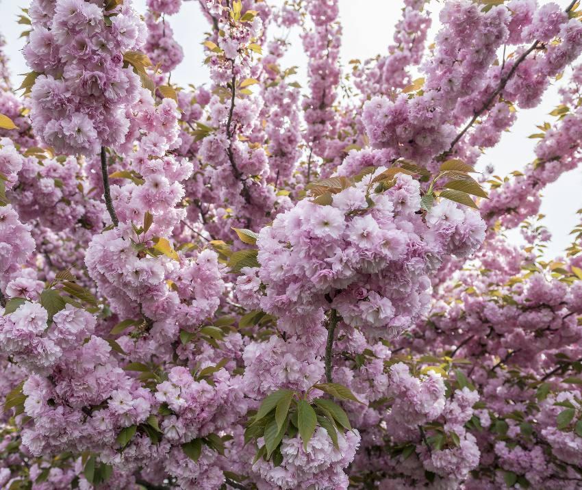 Cerisier du Japon prunus