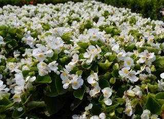 begonia exterieur plantation