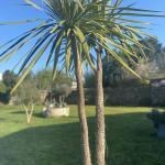cordyline australis dans un jardin