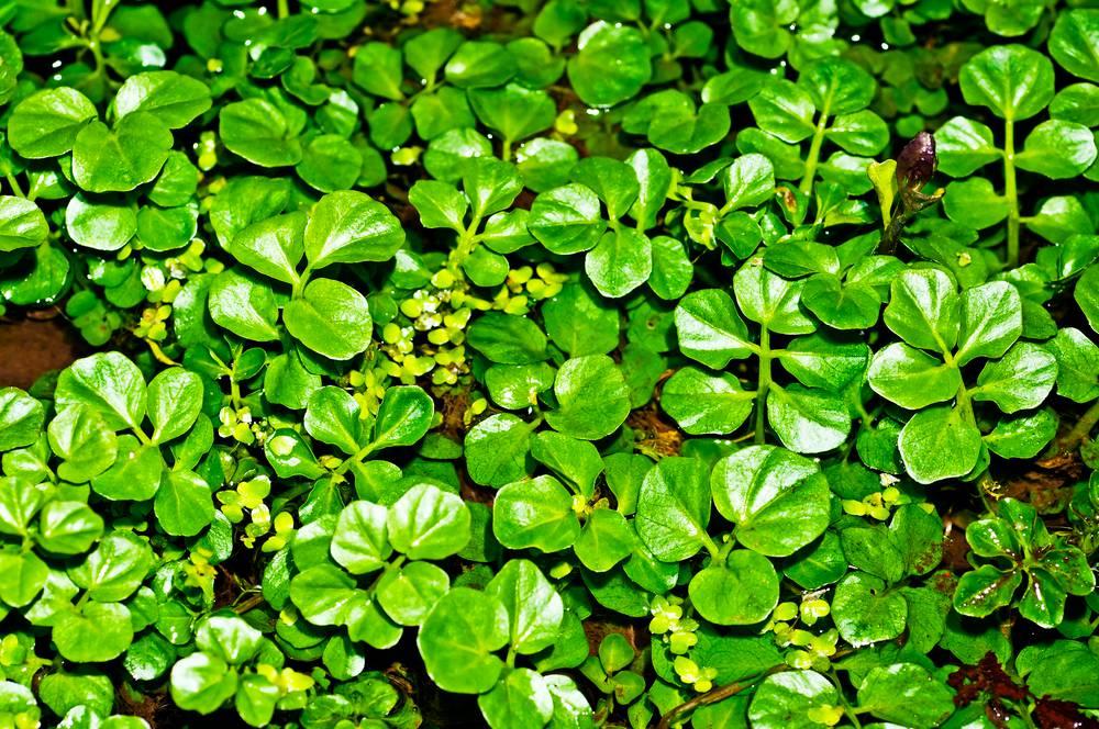Cresson de fontaine : semis, culture et récolte