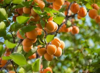 entretien abricotier