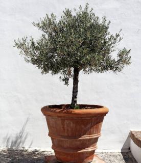olivier en pot entretien