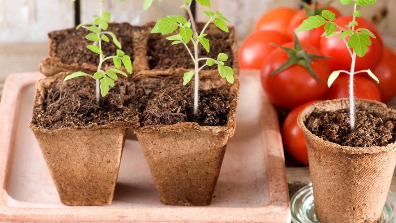 Faire Pousser Tomates En Pot semis de tomate : conseils pour une belle récolte
