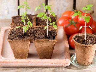 semis de tomate
