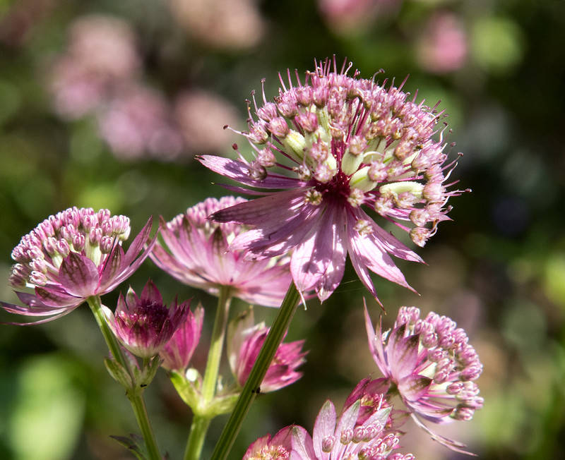 Astrantia radiaire fleur