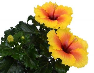 Hibiscus en pot