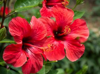 Hibiscus rosa sinensis - rose de chine