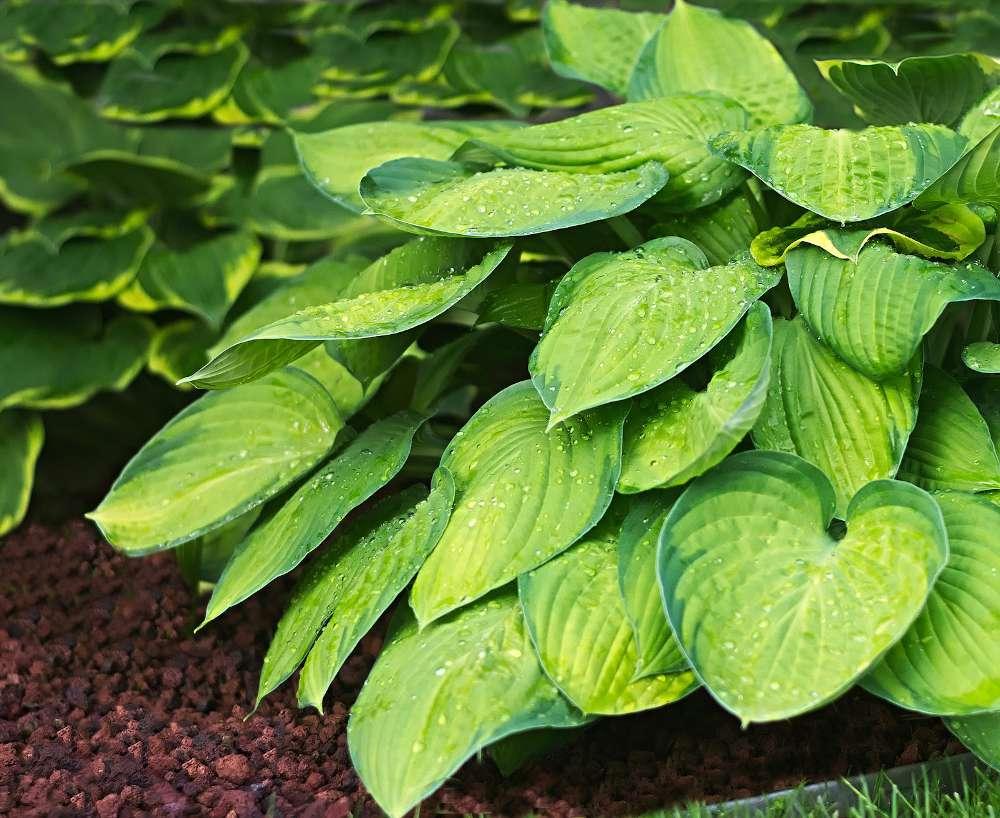Hosta plante