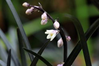 Ophiopogon fleur