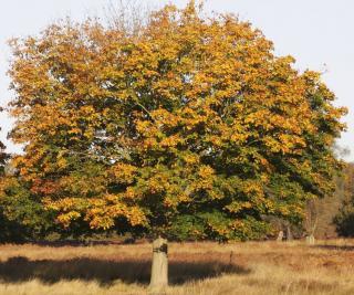 Quercus coccinea chene ecarlate automne