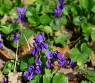 Violette Viola odorata bienfaits