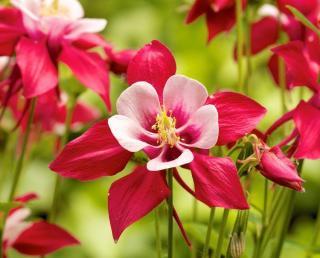 ancolie en fleur dans un jardin