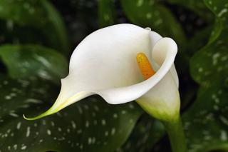 arum fleur