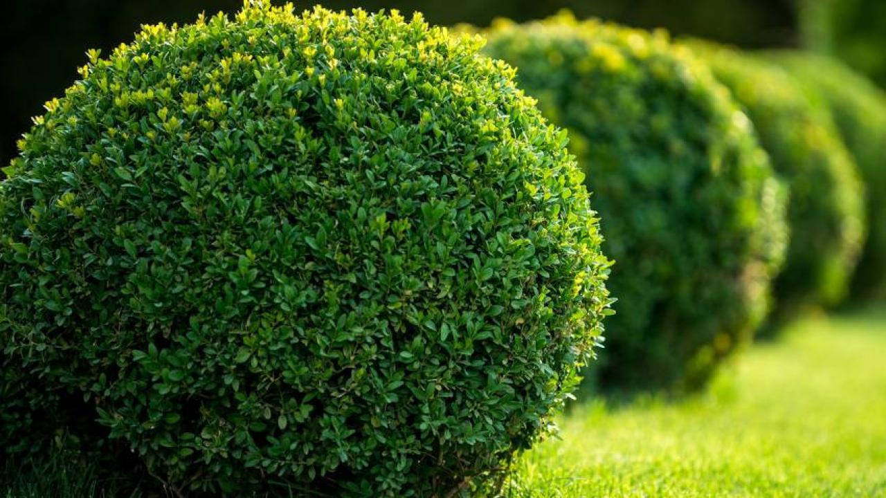 Planter Une Bordure De Buis buis : plantation, taille et entretien des buis