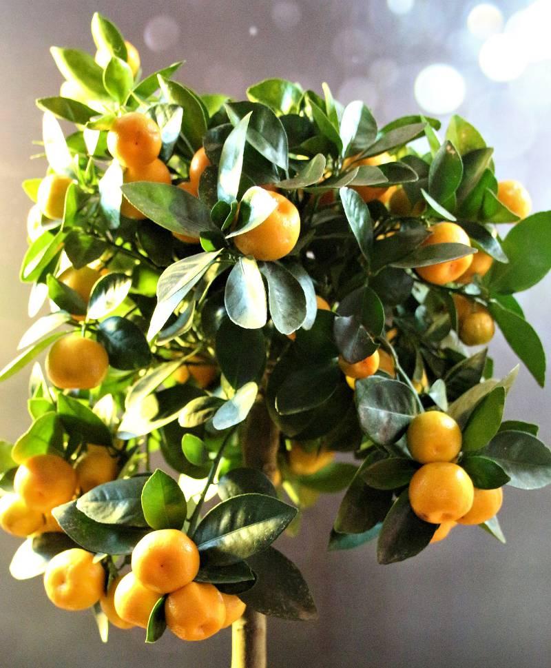 calamondin - citrus mitis
