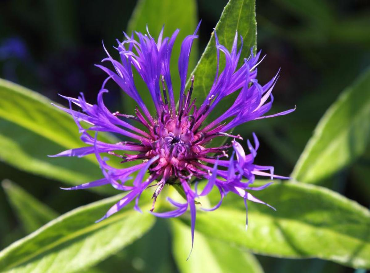 Knapweed: planting, multiplication, maintenance and flowering