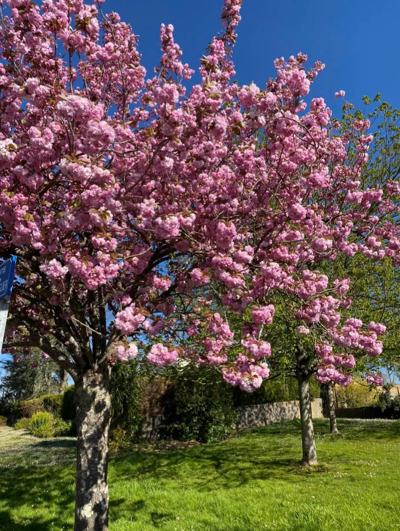 Cerisier du Japon : plantation, taille et conseils d'entretien