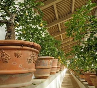 citronnier en pot en hiver sous serre