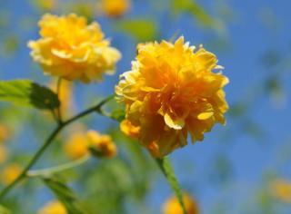 corete du japon fleur