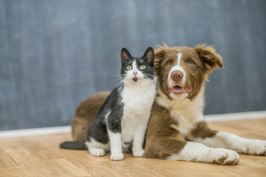 coronavirus chien chat
