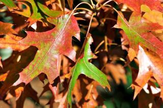 feuille de Quercus coccinea chene ecarlate