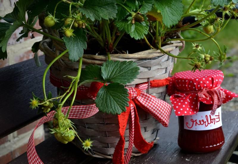 Fraisier plantation et conseils d 39 entretien conseils - Planter fraisier en jardiniere ...