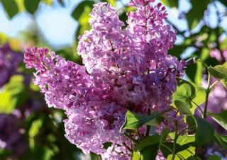 lilas syringa vulgaris