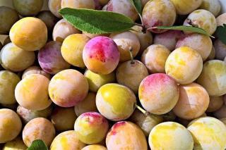 recolte des prune quand comment