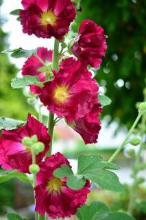 rose tremiere - ile de re