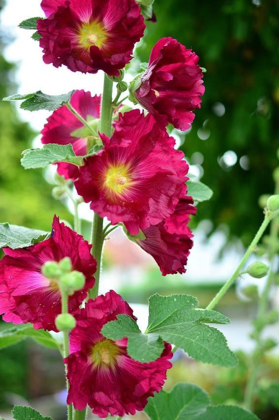Rose Trémière Semer Planter Et Entretenir Les Roses Trémières