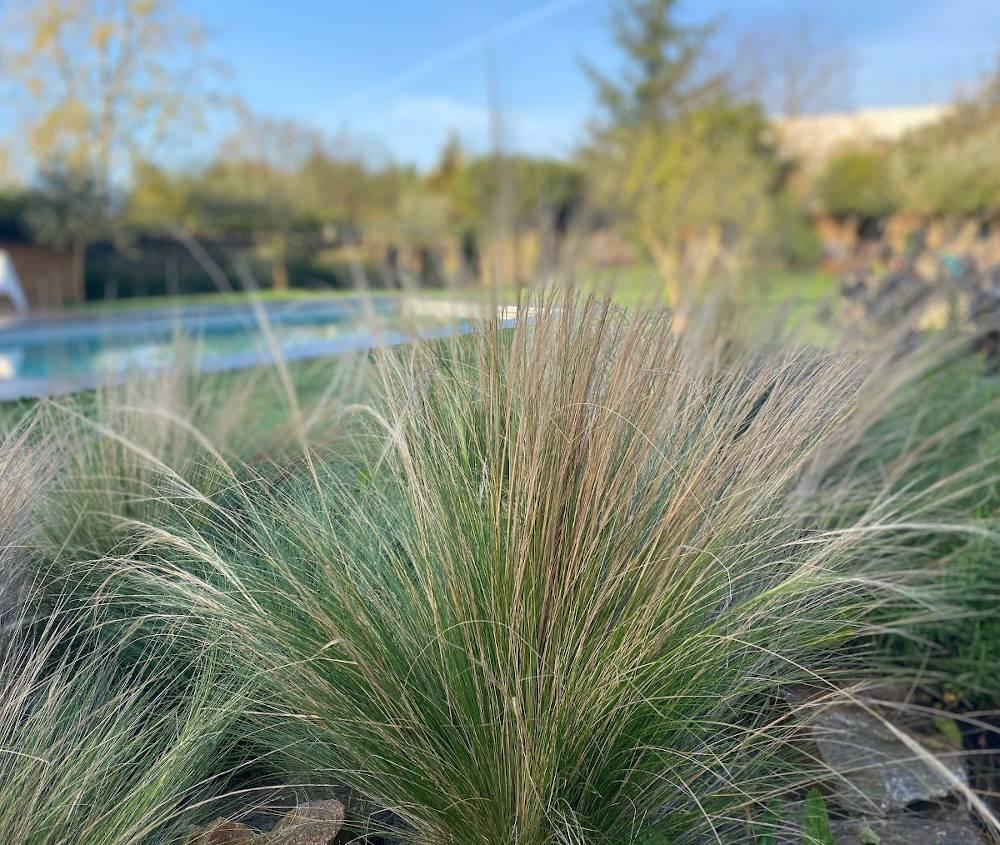 stipa tenuifolia - cheveux d ange