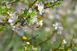 Amandier abeille