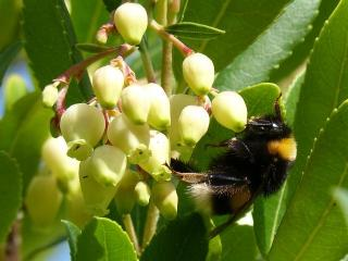Arbousier abeilles melifere