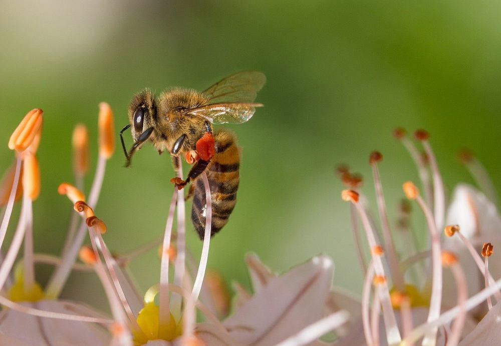 Arbuste qui attire abeille