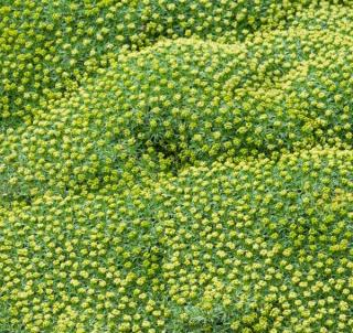 Azorella trifurcata - azorelle