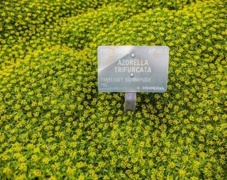Azorelle - Azorella trifurcata