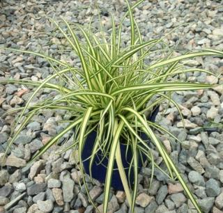 Carex hachijoensis Evergold en pot