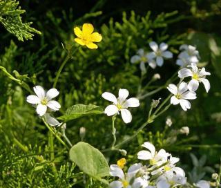 Cerastium ceraiste massif fleur