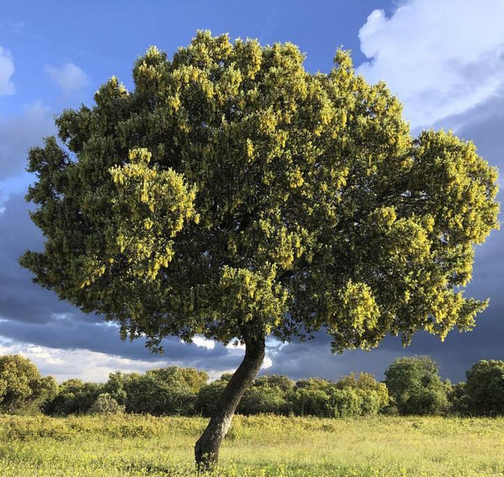 Chene Vert Plantation Taille Et Conseils D Entretien