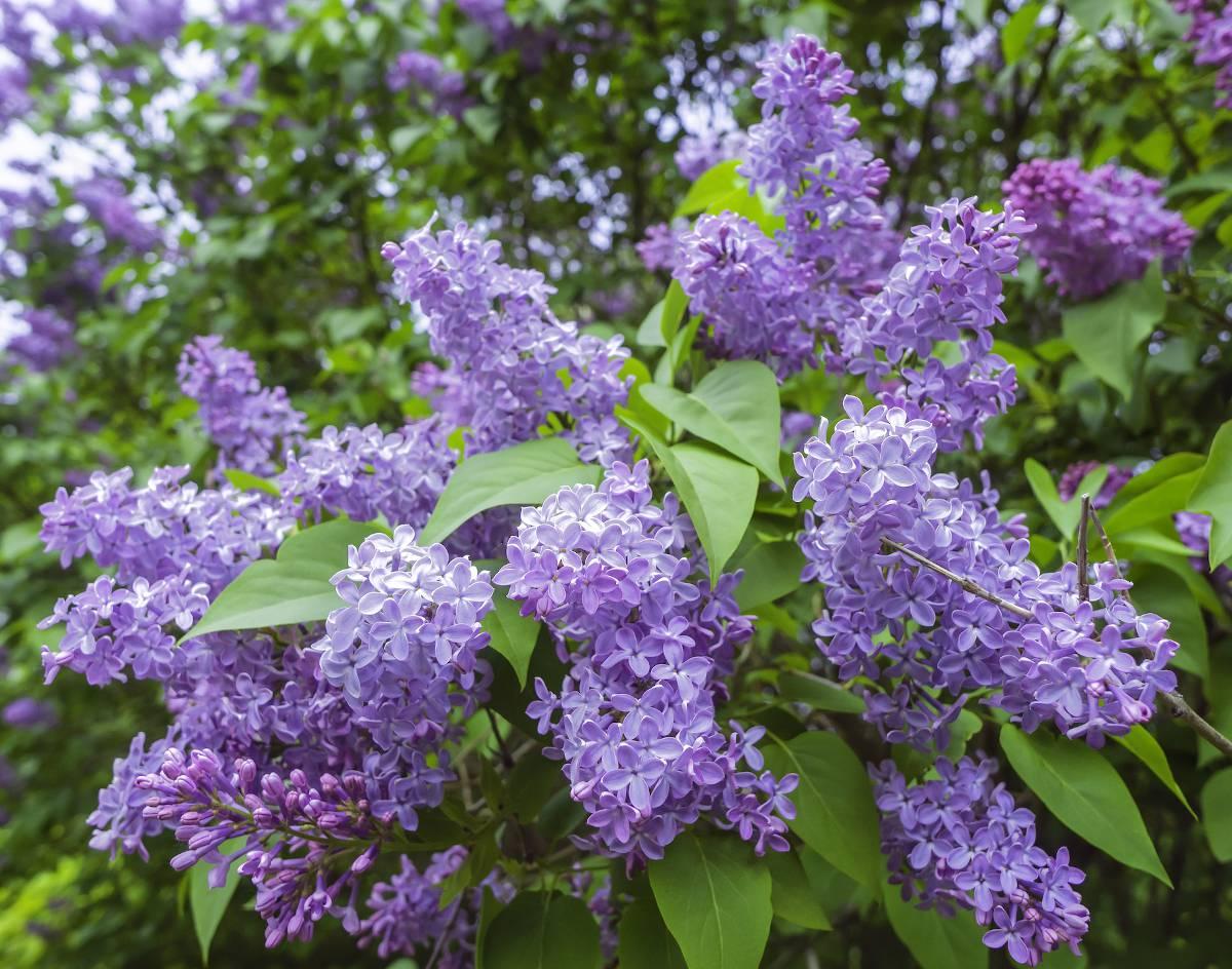 Lilas arbuste plante