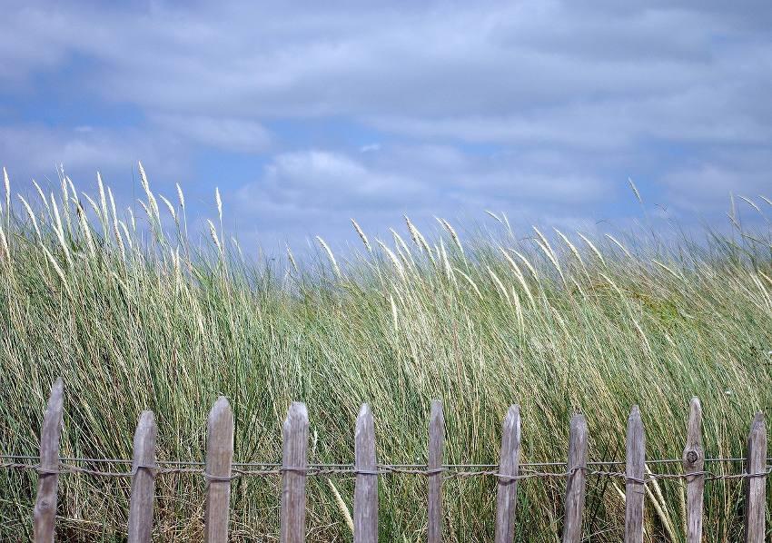 Oyat - herbe des dunes