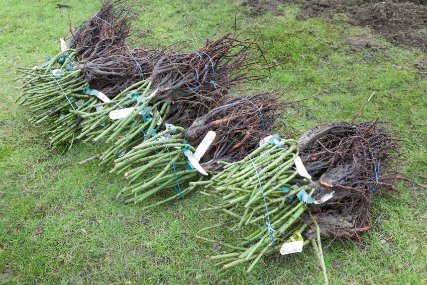 Plantation rosier a racine nue