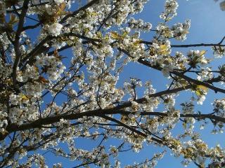 Prunus abeilles