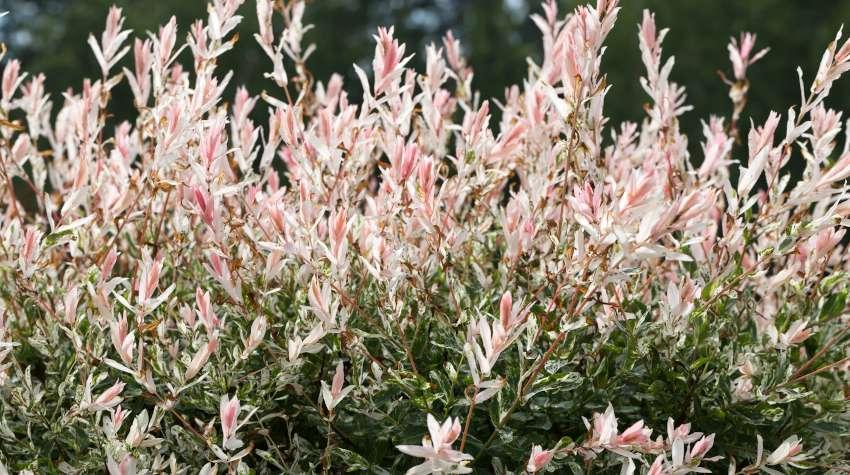 Saule crevette - Salix integra