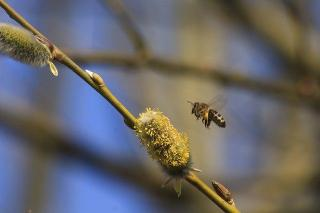 Saule marsault abeille