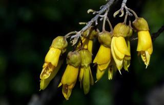 Sophora abeille