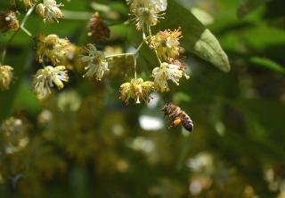 Tilleul abeilles